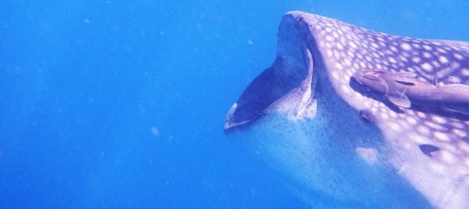 DSCN1418-CANCUN-Whale-sharks-LisaTE-Sonne-900x300